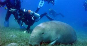 immersioni marsa alam dugongo