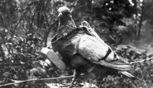 piccione utilizzato in guerra