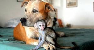 PRINCESS – LA PITBULL CHE SI PRENDE CURA DEGLI ALTRI ANIMALI