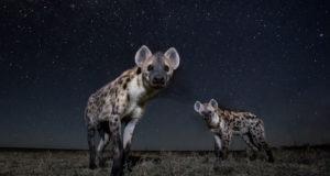 Hyenas photographed under stars at night with BeetleCam. Liuwa Plain National Park, Zambia.