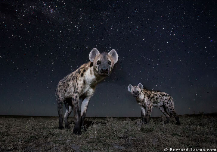 Hyenas photographed under stars at night with BeetleCam. Liuwa Plain National Park, Zambia.