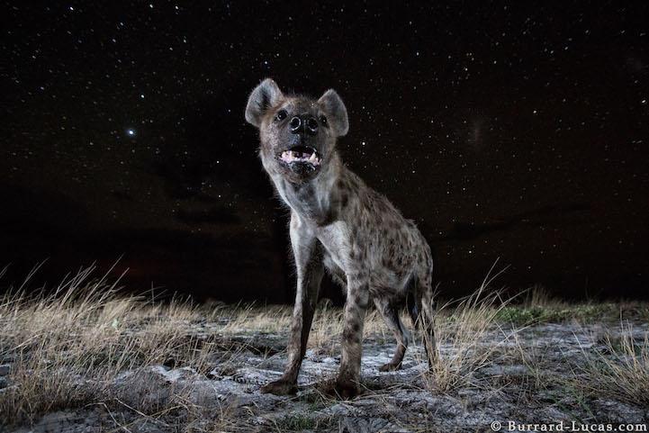 AFRICA - FOTO NOTTURNE DI ANIMALI IMMERSI NEL CIELO STELLATOAFRICA - FOTO NOTTURNE DI ANIMALI IMMERSI NEL CIELO STELLATO