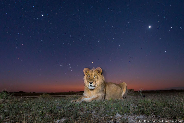 Lion (Panthera leo) Liuwa Plain National Park, Zambia Photographed with BeetleCam.